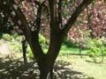 清澄庭園 里桜